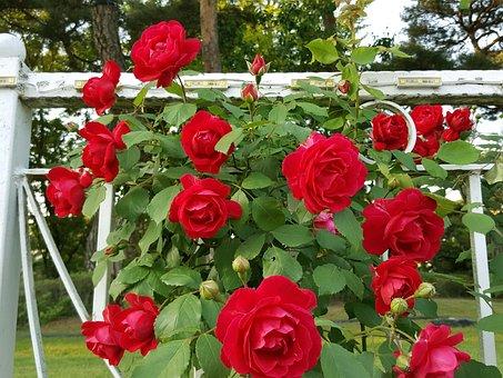 Tendrils Rose, Red Rose