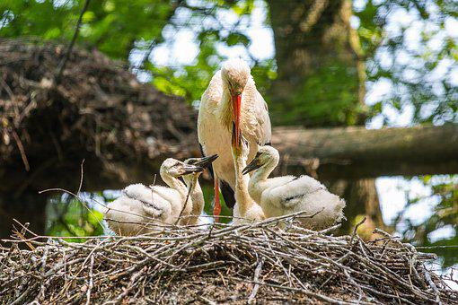 Stork, Nest, Storchennest, Rattle Stork, Brood Care