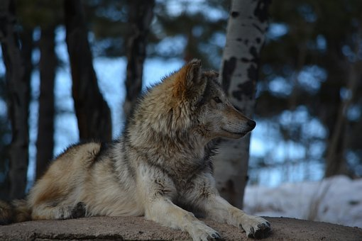 Wolf, Outside, White, Brown, Gray, Snow, Trees, Alert