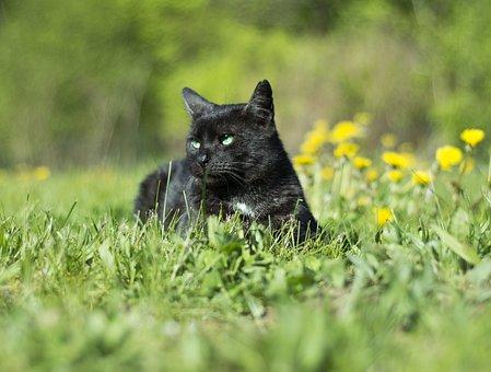 Cat, Animals, Sonchus Oleraceus, Dandelion, Black, Pets