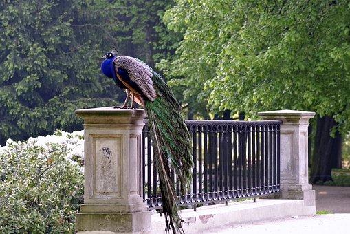 Peacock, Park, Bridge, Alley, Bird, Blue, Proud, Pen