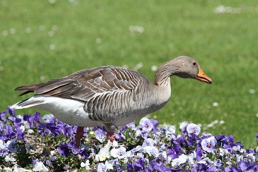 Goose, Park, Castle, Munich, Nymphenburg Palace
