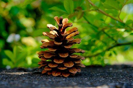 Pine Cones, Pine, Tree, Tap, Close Up, Conifer, Macro
