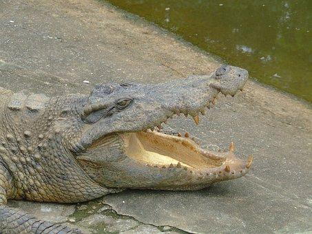 Crocodile, Animal, Mcgowan