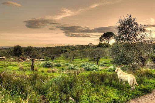 Bucolic, Sheep, Dog, Rural, Landscape, Field, Pastoral
