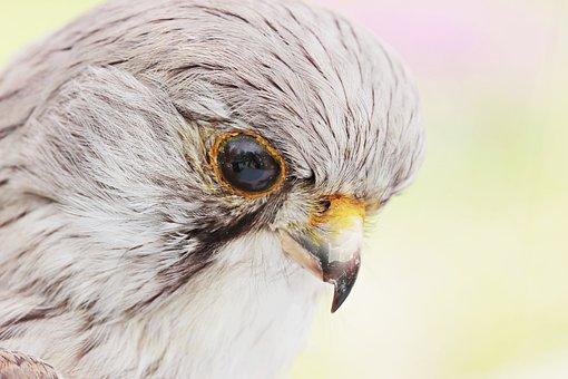 Falcon, Bird, Stuffed, Animal, Taxidermy