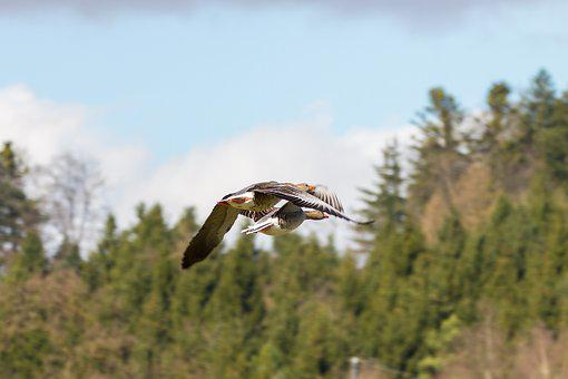 Geese, Wild Geese, Pair Of Flight, Formation Flight