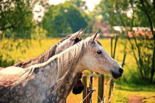 Horse, Mold, Horse Head, Thoroughbred Arabian, Pasture