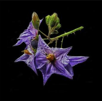 Blossom, Solanum Sisymbriifolium, Plant, Litchi Tomate