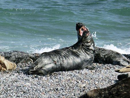 Seerobbe, Sea, Seal, Sea Lion, Creature, Mammal, Beach