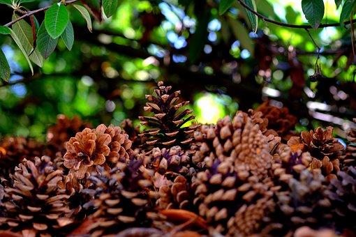 Pine Cones, Many, Pine, Tree, Quantitative, Tap