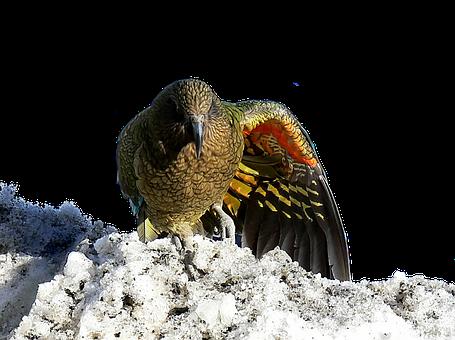 Kea, New Zealand, Bird, Parrot, Wildlife, Animal, Wild