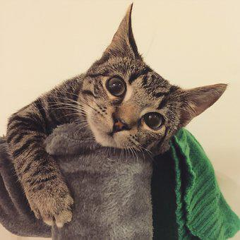 Cat, Kitten, Naughty, Playing, Cute, Pet, Animal, Tabby