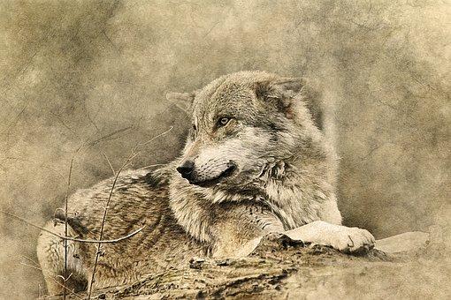 Wolf, Animal, Predator, Lying Down, Art, Vintage
