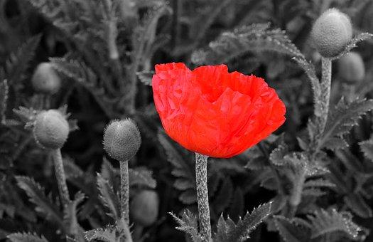Poppy, Poppy Flower, Flower, Red Poppy, Red, Blossom