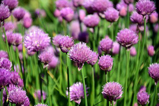 Chives, Chives Field, Spice, Kitchen Herb, Herbs, Plant