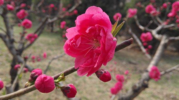 Peach Blossom, Spring, Red, Park