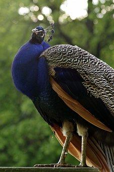 Peacock, Bird, Blue, Proud, Pen, Tom, The Head Of The