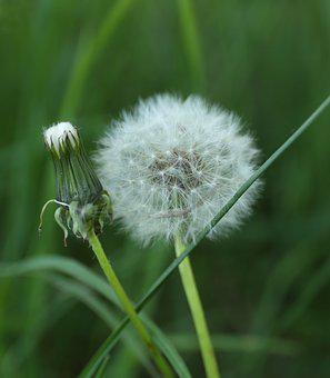 Dandelion, Weeds, Plant, Wild, Seed Position, Bed