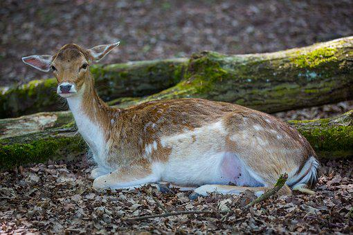 Wild, Roe Deer, Dybowskiwild, Doe