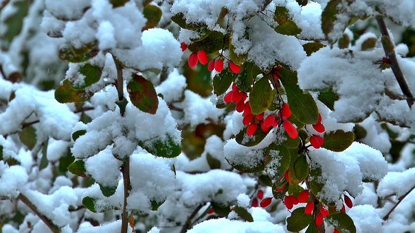 Winter, Berry, Barberry, Nature, Red Berries, Frost