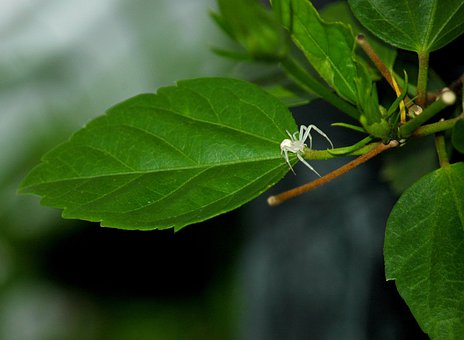 Spider, Crab Spider, White, Leaf, Insect, Animal