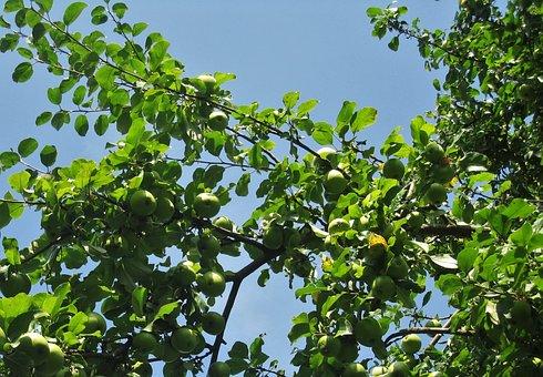 Apple Tree, Green Apple, Summer, Autumn, Ripe
