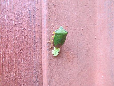Beetle, Insect, Macro, Beetle Firefighter, Creeps