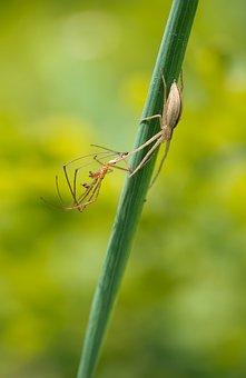 Tibellus Oblongus, Walking Spider, Female, Tetragnatha
