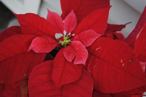 Poinsettia, Red, Christmas, Decoration, Flower, Holiday
