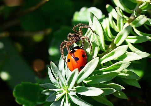 Wolf Spider, Ladybird, Pardosa Amentata