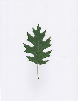 Oak, Leaf, Green, Leaves, Leafy, Foliage, Abstract