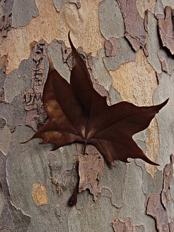 Dry Leaf, Nailed, Bark, Brown, Tree, Arrested Sheet