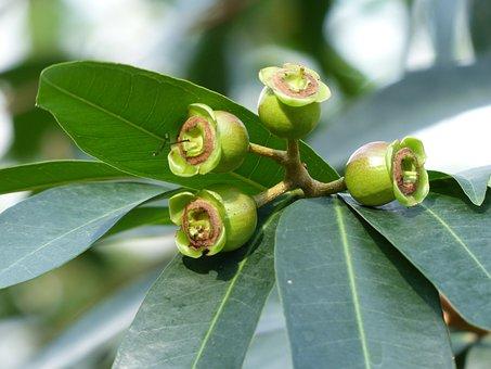 Rosenpfel, Fruits, Tree, Leaves, Green, Syzygium Jambos