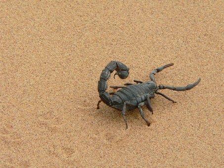 Giant Scorpion, Black, Sand, Namibia, Dry, Sting