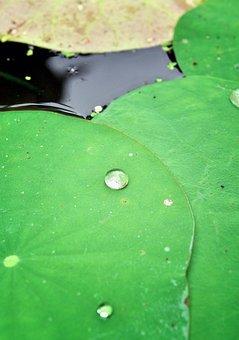 Lotus, Leaf, Green, Tropical, Blossom, Water, Season