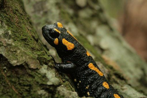 Fire Salamander, Salamander, Amphibian, Animal, Spotted