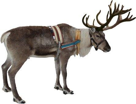 Isolated, White, Reindeer, Winter, Christmas, Deer