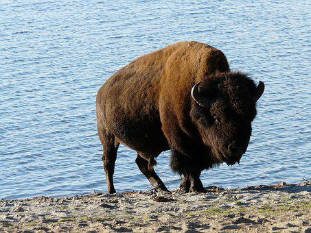 Animal, Nature, Wisent, Free Wild, Canada, Prairie