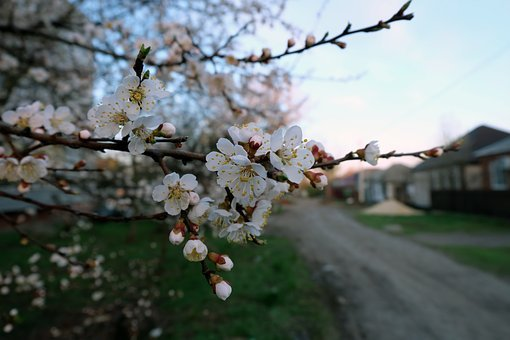 Cherry, Blooms, Street, At Home, Spring