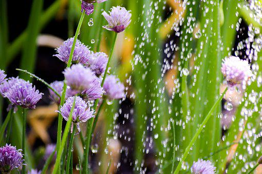 Chives, Plant, Herbs, Nature, Blossom, Bloom, Garden