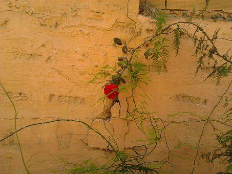 Pink, Wall, Flowers, Brambles, Climbing Rose