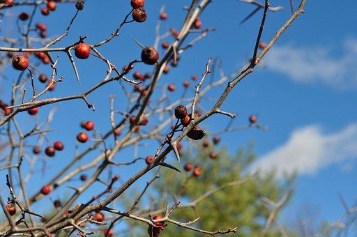 Hawthorn, Fall, Trees