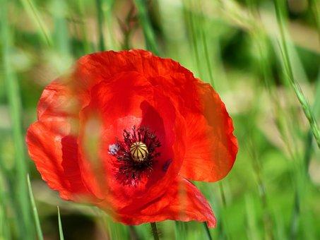 Flower, Poppy, Red, Flamboyant, Petals, Pistil, Nature