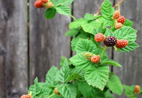 Berries, Boysenberry, Nature, Harvest, Fruit, Berry