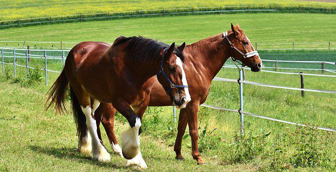 Horses, Coupling, For Two, Graze, Meadow, Pasture
