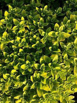 Oregano, Plant, Herbs, Green, Nature, Herb, Garden