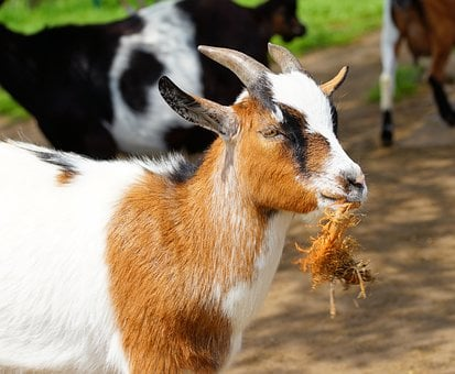 Goat, Chew, Horns, Ruminant, Domestic Goat, Paarhufer