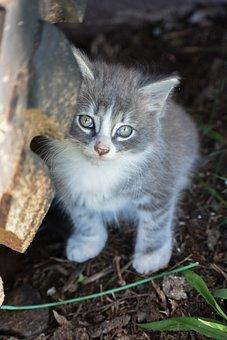 Kitten, Grey Kitten, Tabby, Cute, Pet, Feline, White