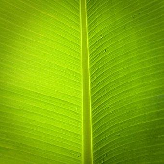 Leaf, Banana Tree, Green